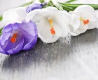 Flores do açafrão da mola Imagem de Stock