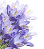 Flores do açafrão da mola Imagens de Stock Royalty Free