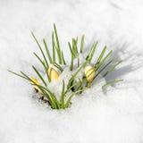 Flores do açafrão da mola cobertas com a neve Fotos de Stock Royalty Free