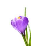 Flores do açafrão da mola com gotas da água Imagens de Stock Royalty Free