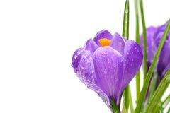 Flores do açafrão da mola com gotas da água Imagem de Stock Royalty Free