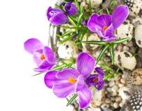 Flores do açafrão da mola de Beautifil com ovos Imagem de Stock