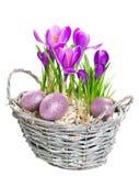 Flores do açafrão da mola de Beautifil com ovos de easter Fotografia de Stock