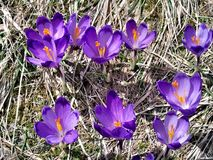 Flores do açafrão da mola em montanhas Carpathian foto de stock