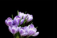 Flores do açafrão da mola, isoladas no preto Fotografia de Stock