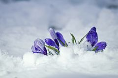 Flores do açafrão da mola na neve Foto de Stock