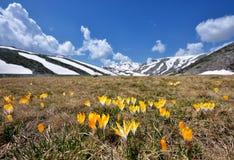 Flores do açafrão da mola na neve Imagem de Stock Royalty Free