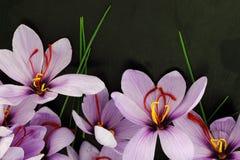 Flores do açafrão de aç6frão Imagem de Stock Royalty Free
