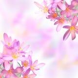 Flores do açafrão de aç6frão no fundo borrado Imagens de Stock Royalty Free