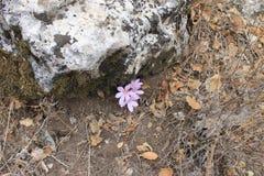 Flores do açafrão de outono Fotos de Stock