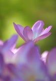Flores do açafrão de outono Imagens de Stock Royalty Free