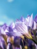 Flores do açafrão de outono Fotos de Stock Royalty Free