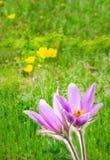 Flores do açafrão de Snowdrops Imagens de Stock Royalty Free