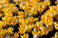Flores do açafrão do amarelo do feriado da mola Imagem de Stock Royalty Free