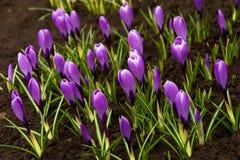 Flores do açafrão do feriado da mola Imagens de Stock Royalty Free
