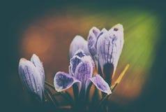 Flores do açafrão do vintage Foto de Stock Royalty Free