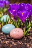 Flores do açafrão e ovos de Easter Imagem de Stock
