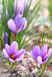 Flores do açafrão em um campo Fotografia de Stock