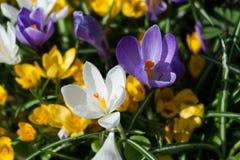 Flores do açafrão em um canteiro de flores Fotos de Stock