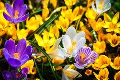 Flores do açafrão em um canteiro de flores Foto de Stock