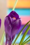 Flores do açafrão em um close up colorido do fundo Foto de Stock