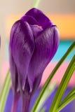 Flores do açafrão em um close up colorido do fundo Foto de Stock Royalty Free