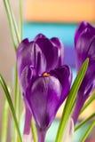 Flores do açafrão em um close up colorido do fundo Imagem de Stock Royalty Free