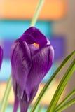 Flores do açafrão em um close up colorido do fundo Fotos de Stock Royalty Free