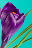 Flores do açafrão em um close up verde do fundo Fotografia de Stock