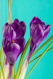 Flores do açafrão em um close up verde do fundo Foto de Stock