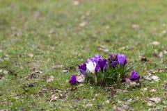 Flores do açafrão em um parque Imagem de Stock Royalty Free
