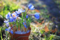 Flores do açafrão em um potenciômetro Imagem de Stock