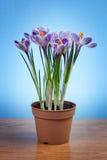 Flores do açafrão em um potenciômetro Fotografia de Stock