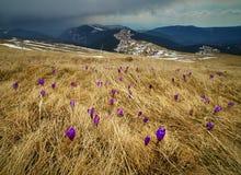 Flores do açafrão em um prado na montanha Imagem de Stock Royalty Free