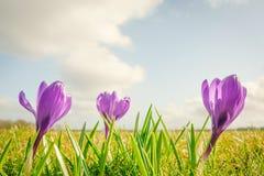 Flores do açafrão em uma fileira Fotos de Stock Royalty Free