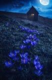Flores do açafrão em uma luz da Lua cheia Foto de Stock Royalty Free