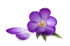Flores do açafrão - flores frescas da mola Fotos de Stock