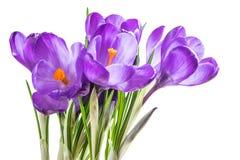 Flores do açafrão isoladas Fotografia de Stock
