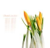 Flores do açafrão isoladas no fundo branco Foto de Stock