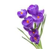 Flores do açafrão isoladas no branco Imagens de Stock