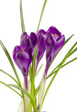 Flores do açafrão isoladas no close up branco do fundo Imagens de Stock
