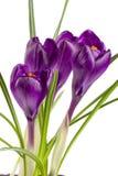 Flores do açafrão isoladas no close up branco do fundo Imagem de Stock Royalty Free