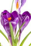 Flores do açafrão isoladas no close up branco do fundo Imagens de Stock Royalty Free