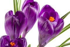 Flores do açafrão isoladas no close up branco do fundo Fotografia de Stock