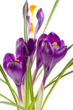 Flores do açafrão isoladas no close up branco do fundo Foto de Stock Royalty Free