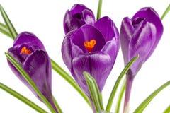 Flores do açafrão isoladas no close up branco do fundo Fotografia de Stock Royalty Free
