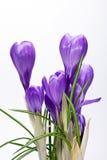 flores do açafrão isoladas no fundo branco Fotos de Stock