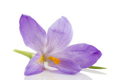 Flores do açafrão isoladas no fundo branco Imagens de Stock Royalty Free