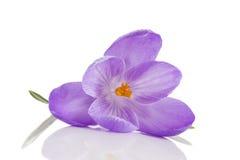 Flores do açafrão isoladas no fundo branco Imagem de Stock Royalty Free