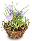Flores do açafrão na cesta da tala Imagens de Stock Royalty Free